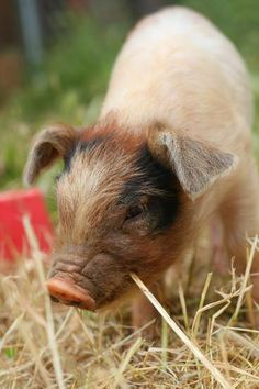 Oh that little cutie! Beautiful Creatures, Animals Beautiful, Farm Animals, Cute Animals, Cute Piglets, Teacup Pigs, Pig Art, Baby Faces, Mini Pig