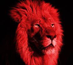 Horse Wallpaper, Lion Wallpaper, Animal Wallpaper, Wallpaper Iphone Cute, Voldemort, Church Banners Designs, Super Cute Kittens, Large Cat Breeds, Lions Photos