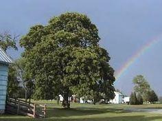 13 Best Buckeye Trees Images Buckeye Tree Buckeyes