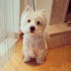 "1,757 Me gusta, 7 comentarios - Westie Planet (@westie_planet) en Instagram: ""Your daily dose of #Westie cuteness! . To be featured ⏩follow @westie_planet ⏩use tag…"""