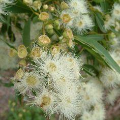 Angophora woodsiana