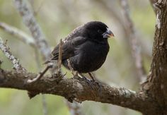 darwin's finches | Darwin's Finches – A classical example of an adaptive radiation