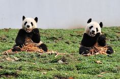 Starvation Diet: Climate Change Takes Bite Out of the Giant Pandas' Food Supply