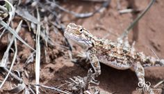 Lizard. Wildlife photo taken at Dronfield Nature Reserve outside Kimberley. #reptile #wildlife #nature #photography #gertjgagiano