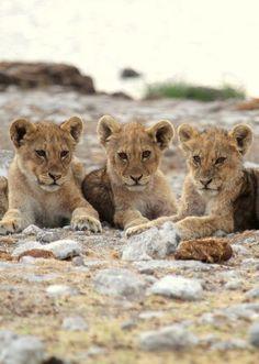 Three adorable cub lions <3