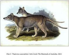 "'Thulacinus cynocephalus,"" Thylacine, or Tasmanian Tiger. (John Gould, the Mammals of Australia, 1863)"
