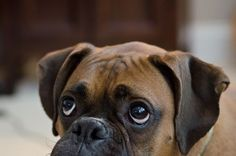 19 Reasons Boxers Are Actually The Worst Dogs To Live With Boxer Breed, Boxer Bulldog, Boxer Mom, Funny Boxer, Boxer And Baby, Boxer Puppies, Funny Dogs, Dogs And Puppies, Doggies