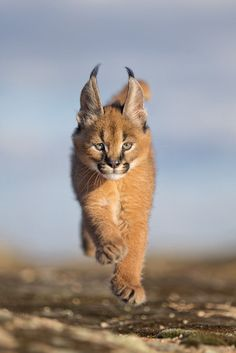 """beautiful-wildlife: """"Lifted by Marion Vollborn 6 weeks old Caracal Cub """" More"""