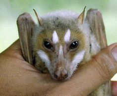 Bat with beautiful markings of the face. Quite furry. Does anyone know the breed?