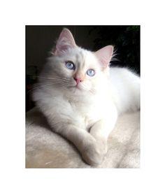 White Ragdoll Kitten Honey Photo 8 x 10 Hi by LovesParisStudio, $30.00