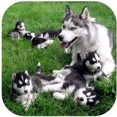 One of the things on my bucket list is to adopt husky babies!