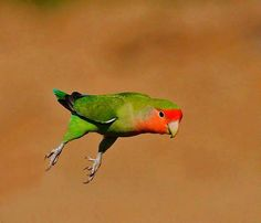 Peach-faced Lovebird in flight. Image by Chris Krog, Africa Geographic-great pic