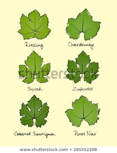 Vector collection of hand drawn wine grape leaves varieties. Riesling, Chardonnay, Syrah, Zinfandel, Cabernet Sauvignon and Pinot Noir grape leaves shapes with hand written names. Wine Bottle Design, Wine Label Design, Wine Leaves, Plant Leaves, Pinot Noir Grapes, History Of Wine, Leaf Clipart, Vides, Leaf Drawing