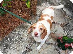 Tampa, FL - Beagle. Meet Whimsy, a dog for adoption. http://www.adoptapet.com/pet/14471356-tampa-florida-beagle