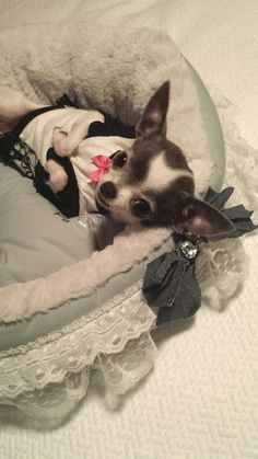 Little Sweetheart Jade the Chihuahua #chihuahua Chihuahua Love, Chihuahua Puppies, Cute Puppies, Cute Dogs, Dogs And Puppies, Teacup Chihuahua, Doggies, Baby Animals, Cute Animals