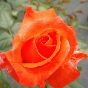 LIVING EASY ROSE Is An All American Rose Selection Rose. This Delightful,  Hardy Own