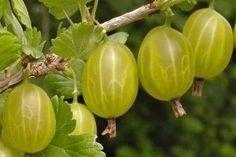 Flora, Berries, Gardening, Lawn And Garden, Plants, Bury, Horticulture, Blackberry, Strawberries