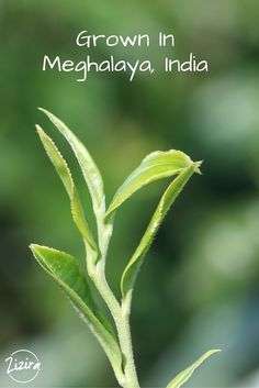 If you are a tea lover looking for quality, it is time to look for Meghalaya tea!