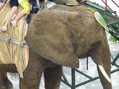 Tell USDA To Do Its Job And Help Elephant Nosey: Please Sign | STOP ANIMAL ABUSE