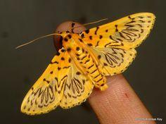 https://flic.kr/p/EjPyKX | Crambid moth, Polygrammodes sp. | from Ecuador Megadiverso: www.flickr.com/andreaskay/albums