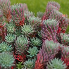 Sedum rupestre - Stonecrop by Miniature Plants, http://www.amazon.com/dp/B007NKG6AS/ref=cm_sw_r_pi_dp_.O-Mqb1BVBNGT
