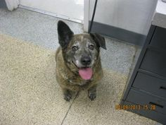 CHLOE - ID#A708997    My name is CHLOE.    I am a female, brown brindle Australian Cattle Dog.    The shelter staff think I am about 5 years old.    I have been at the shelter since Apr 09, 2013.