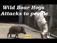 Wild boar charges at people on beach before headbutting them   Daily Mai...