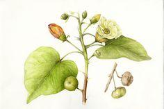 Milo/Portia Tree Thespesia populnea