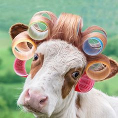 Shop for framed Cow in Curlers by A. Cow Pictures, Funny Animal Pictures, Funny Animals, Cute Animals, Baby Animals, Arte Ganesha, Cow Paintings On Canvas, Cow House, Fluffy Cows