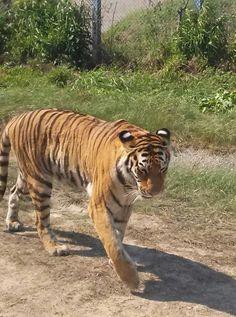 前に撮った虎