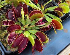 Venus Flytrap 'Fused Tooth' one of my favorite cultivars #dionaea #venusflytrap…