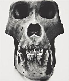 """© Irving Penn, Gorilla Skull (Male), Prague """"Reality is inside the skull. Irving Penn, Historia Natural, Gelatin Silver Print, Skull And Bones, Diamond Design, Skull Art, Black And White Photography, Art Photography, Inspiring Photography"""