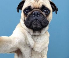 Ladies and gentlemen, with you... Norm the pug!!