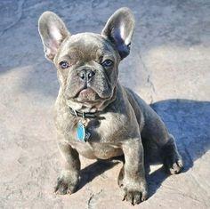 Sterling, Blue French Bulldog  #Frechbulldog #dogs