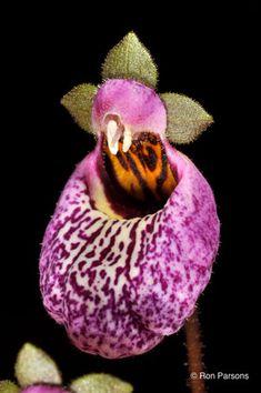 Ron Parsons, Orchid Talks Orchid Speaker Orchid Lectures Orchid Photos Orchid Photographs Orchid Photography Photographs Wildflower Talks Native Orchids Cactus Carnivorous Plants Flower Species Impatiens calochortus masdevallia dracula