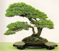 Bonsai this tree look like it was from a natural setting