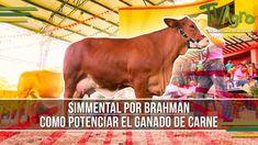 Simmental por Brahman: Como Potenciar el Ganado de Carne - TvAgro por Ju...