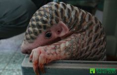 "On September 30th, the Taipei Zoo welcomed the birth of a female Pangolin, named ""Gung-wu"". Learn more: http://www.zooborns.com/zooborns/2014/12/endangered-pangolin-receives-special-care.html"