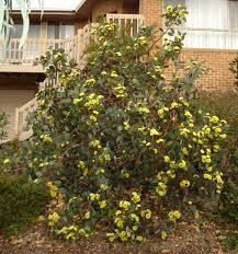 Eucalyptus Preissiana - Google SearchPage by Lorraine Phelan - ... a Bell-fruited Mallee Eucalyptus preissiana. I mentioned it several months ago but at the moment it is in full flower in my north-facing front garden, .