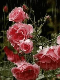 Pink roses & water