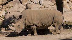 Rinoceronte blanco del Norte: solo quedan tres ejemplares