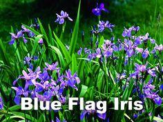 """QUEBEC: Blue Flag (Iris versicolor Linné): La """"Madonna Lily"""" (Azucena) fue la flor de Quebec durante 36 años. Se parece a la heráldica """"Fleur-de-Lis"""" de la bandera de Quebec. La Azucena es el símbolo de la cultura francesa en Francia y en Québec, pero no crece de forma natural en la provincia. Por lo tanto, en 1999 Quebec eligió una nueva flor que crece en toda la provincia: el """"Blue Flag Iris""""."""