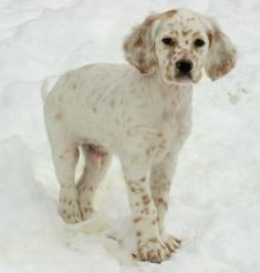 Remi, male Orange Belton llewellin setter pup out of Maddie by Remus