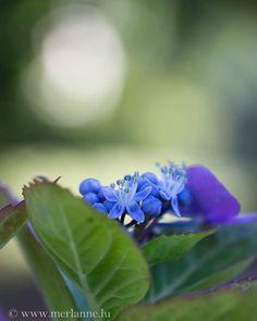 Hortensien - Hydrangeas