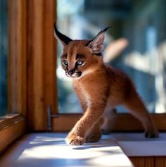 """The caracal is a medium sized cat which it spread in West Asia, South Asia, and Africa. The word Caracal is from Turkey """"Karakulak"""" which means """"Black Ears"""". Here is all about caracal as a pet. Baby Caracal, Caracal Kittens, Cute Baby Animals, Animals And Pets, Funny Animals, Animals Photos, Small Animals, Baby Wild Animals, Funniest Animals"""