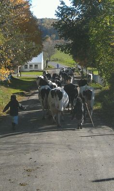 Two little Amish girls taking the cows home for evening milking!