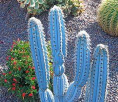 I LOVE the blue cactus! Pilosocereus magnificus and Euphorbia milii by plantmanbuckner, via Flickr.