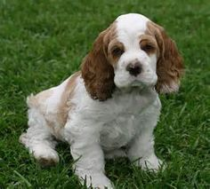 Cocker Spaniel - My Yahoo Image Search Results