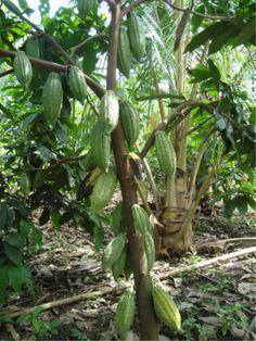 Investiga Innova Cacao Chocolate : MANUAL: REGISTRO Y CERTIFICACIÓN DE VIVEROS Y PRODUCTORES DE MATERIAL VEGETAL DE CACAO..