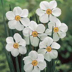Actaea Poet's Narcissus